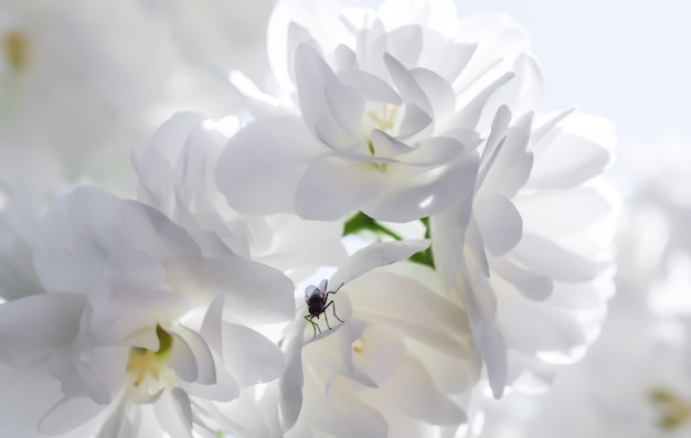 Fiori di gelsomino in spugna bianca con una mosca in giardino