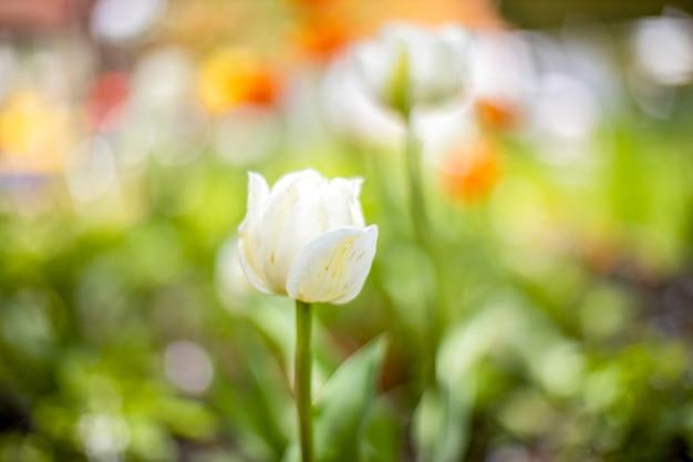 Tulipano bianco su sfondo sfocato erba verde. primo piano, messa a fuoco morbida