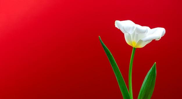 Tulipano bianco vacanza primaverile sfondo, macro fiore su rosso, copia spazio banner dimensione composizione