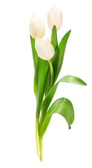 Tulipani bianchi isolati su sfondo bianco
