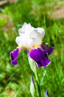 Primo piano del fiore di cultivar di iris bianco e viola sul prato verde