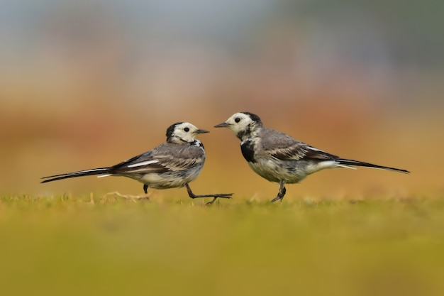 White wagtail uccelli in natura.