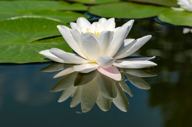 Ninfea bianca - loto che fiorisce su un piccolo stagno in una soleggiata giornata estiva