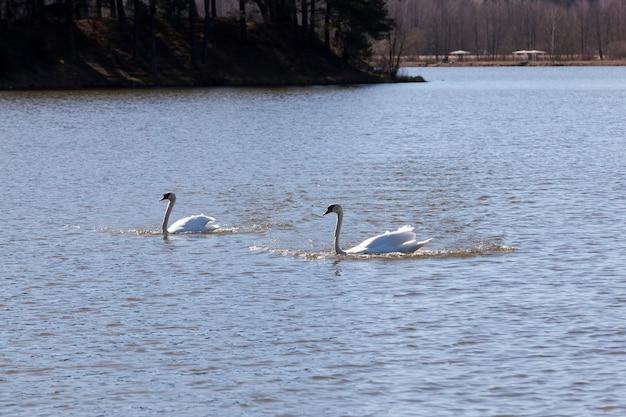 Uccelli acquatici bianchi nel periodo primaverile dell'anno, fauna selvatica con uccelli acquatici