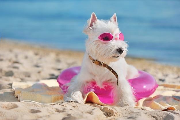 White highland terrier indossando occhiali da nuoto in spiaggia
