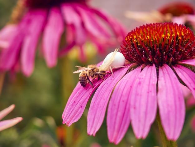 Il ragno della vedova bianca (latrodectus pallidus) ha catturato un'ape su un fiore di echinacea