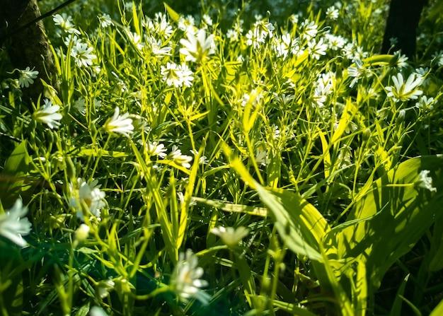 Fiori di campo bianchi nel verde alla luce del sole primo piano creativo focus