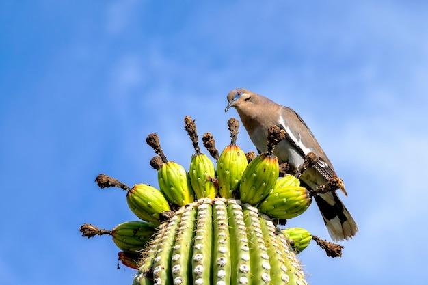 Colomba alata bianca appollaiata su cactus saguaro nel deserto dell'arizona