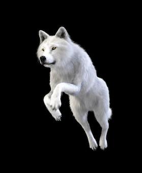 Isolato del lupo bianco su fondo scuro con il percorso di ritaglio, lupo artico