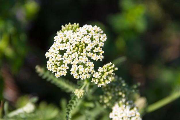 Fiore di achillea bianca (achillea millefolium). pianta medicinale