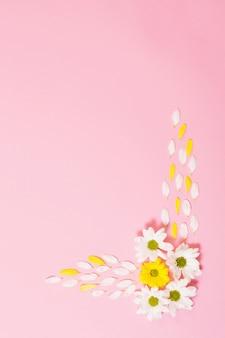 Crisantemo bianco e giallo su sfondo di carta rosa