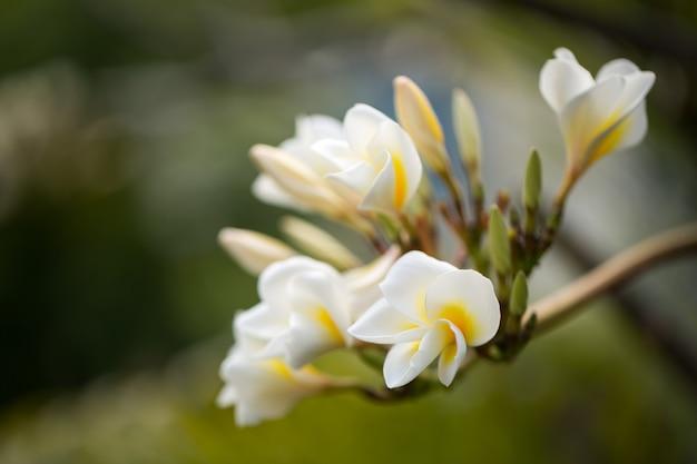 Fiori di plumeria bianchi e gialli su un albero
