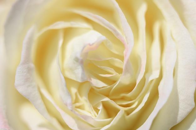 Fiore di rosa gialla bianca in piena fioritura. petali di rosa si chiudono