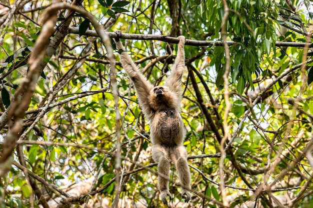 Gibbone dalle mani bianche gibbone comune hylobates lar sul ramo