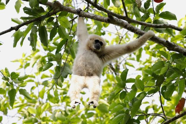 Gibbone dalle mani bianche che pende da un ramo di un albero nella foresta tropicale in thailandia