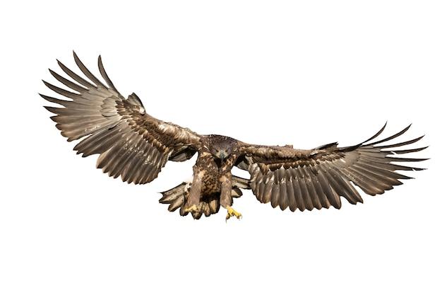 Aquila dalla coda bianca che caccia nell'aria ritagliata su bianco