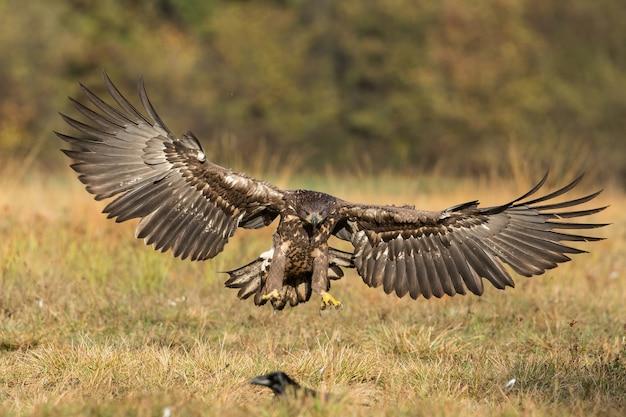 Aquila dalla coda bianca che atterra a terra dalla vista frontale