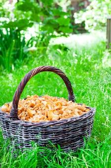 Canestro di vimini con i galletti dei funghi selvaggi sul fondo dell'erba verde