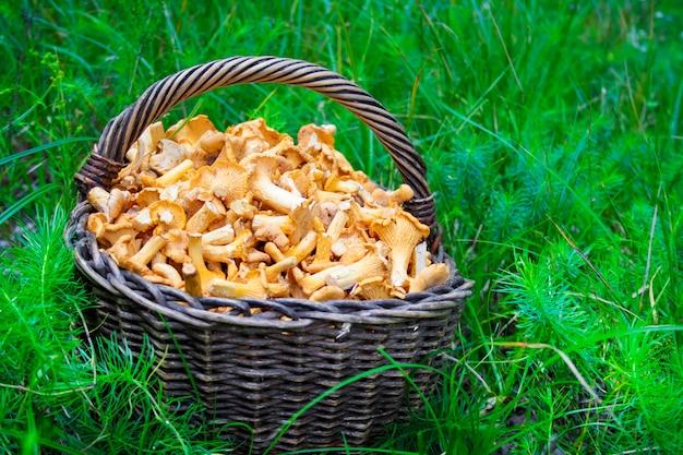 Cesto di vimini con finferli di funghi selvatici su sfondo di erba verde green
