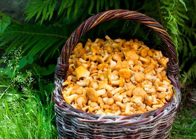 Cesto di vimini con finferli di funghi selvatici su erba verde e superficie di felce