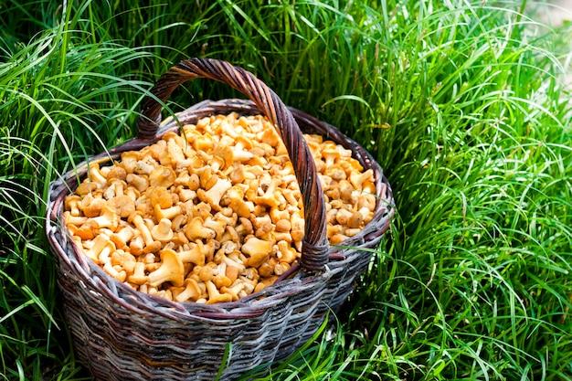 Cesto di vimini con finferli di funghi selvatici su erba verde Foto Premium