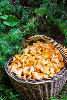 Cesto di vimini con finferli di funghi selvatici