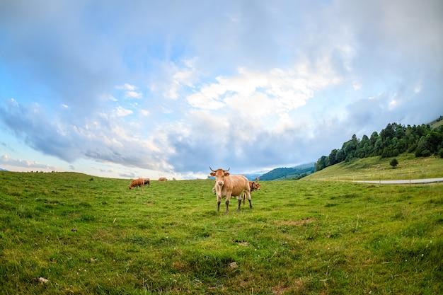 Ampio angolo di mucche adulte in un paesaggio pirenaico, camprodon