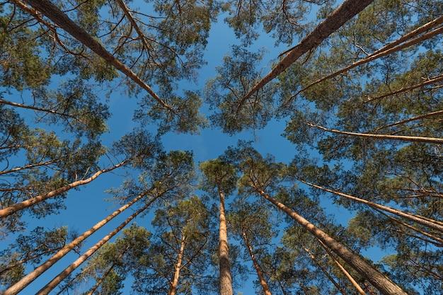 Colpo grandangolare di alcuni alberi di pino che torreggiano nel cielo blu