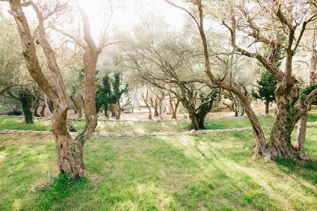 Un'ampia cornice di un uliveto multipiano negli ulivi montenegrini al tramonto