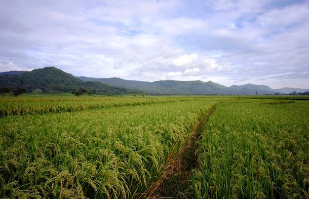 Campo ampio di risaia o pianta di riso nel villaggio dell'indonesia.