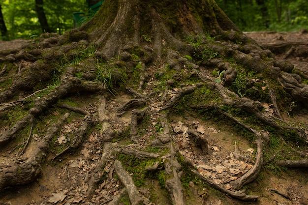 Radici larghe dell'albero sul suolo alla foresta. primo piano