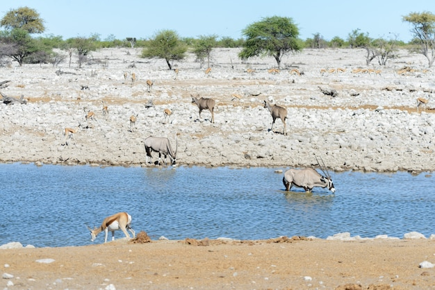 Animali selvaggi africani -gnu, kudu, orix, springbok, zebre acqua potabile nel waterhole