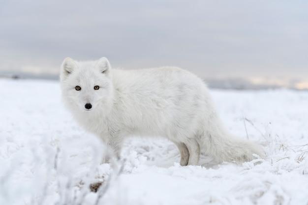 Volpe artica selvaggia (vulpes lagopus) nella tundra nell'orario invernale. volpe artica bianca.