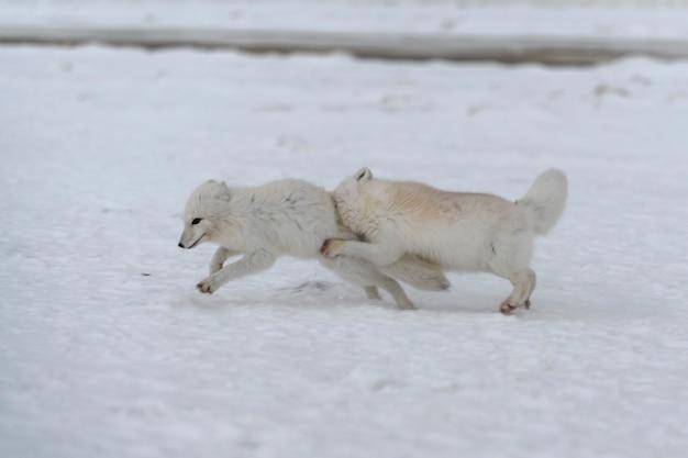 Volpi artiche selvatiche che combattono nella tundra nell'orario invernale. volpe artica bianca aggressiva.