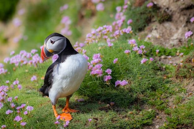 Wild atlantic puffin nelle scogliere d'irlanda