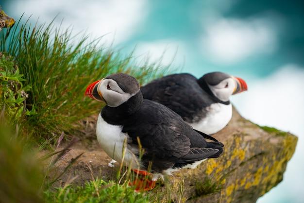 Uccello marino selvaggio della pulcinella di mare atlantico nella famiglia degli alk