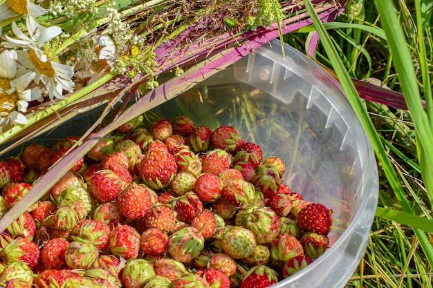 Le fragole di bosco vengono raccolte nel secchio contro il prato e il bouquet di fiori selvatici.