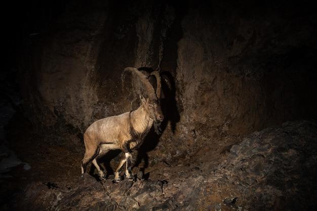 Capra selvatica del bezoar nell'habitat naturale bezoar ibex capra aegagrus