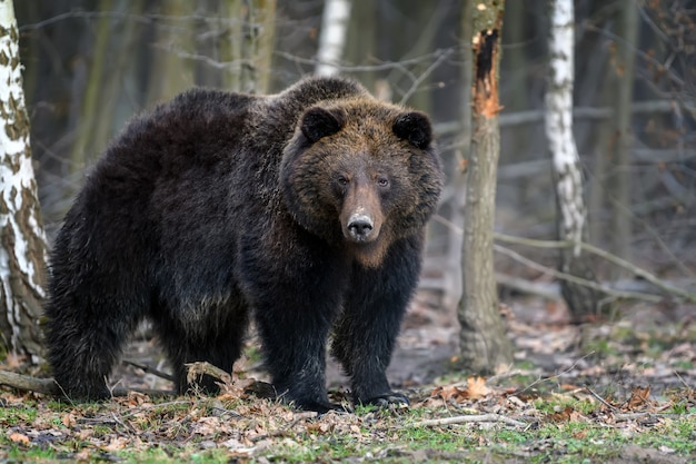 Ritratto di orso bruno grande selvaggio nella foresta. pericolo animale nell'habitat naturale.