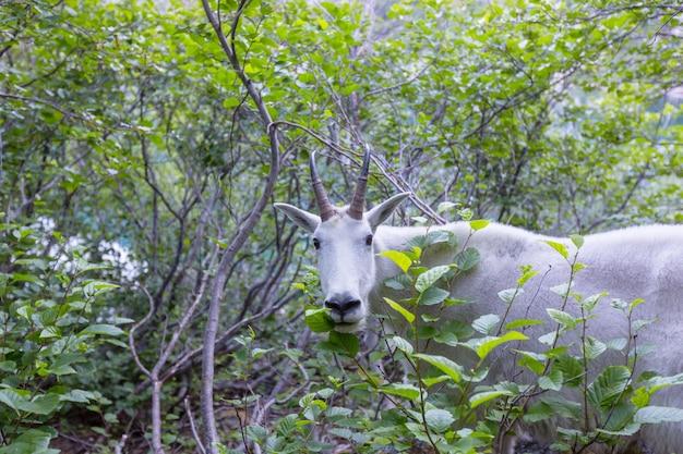 Pecore bighorn selvatiche nelle montagne a cascata