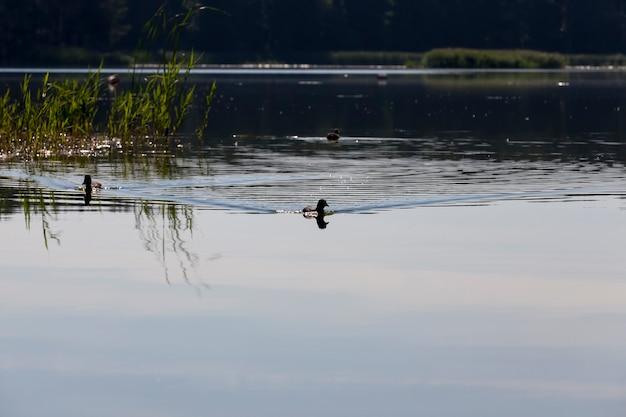 Uccelli selvatici anatre nel loro habitat naturale, uccelli acquatici allo stato brado
