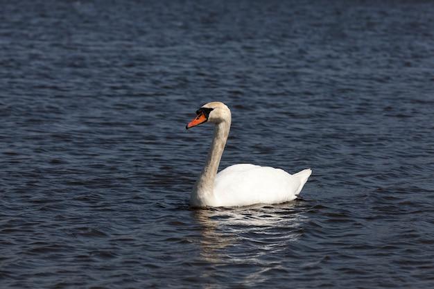 Uccelli selvatici che nuotano cigni nell'acqua del lago o del fiume, cigni che galleggiano sul lago, bellissimi cigni di uccelli acquatici nell'acqua