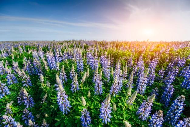Lupinus blu selvaggio che fiorisce nell'erba alta all'estate