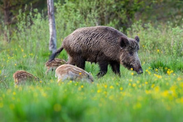 Famiglia del cinghiale che pasce sul prato verde con i fiori gialli nella natura di primavera