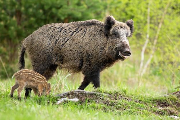 Madre del cinghiale e porcellino a strisce che pascono sulla radura in primavera
