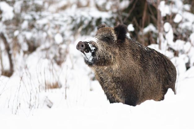 Cinghiale che fiuta sulla neve nella natura invernale