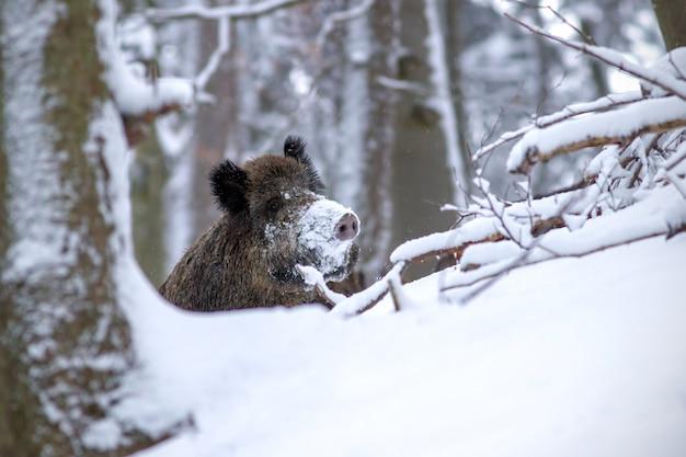 Cinghiale in inverno che dà una occhiata fuori con la neve sul naso