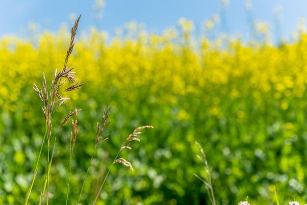 Erba selvatica di brome sulle praterie del saskatchewan con un campo di colza giallo