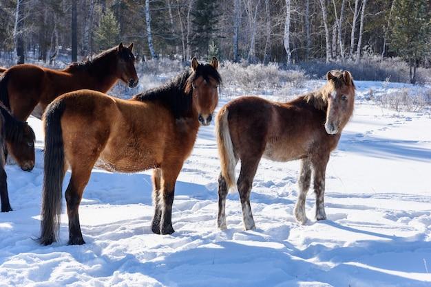Cavalli marroni selvaggi che camminano sul campo in inverno
