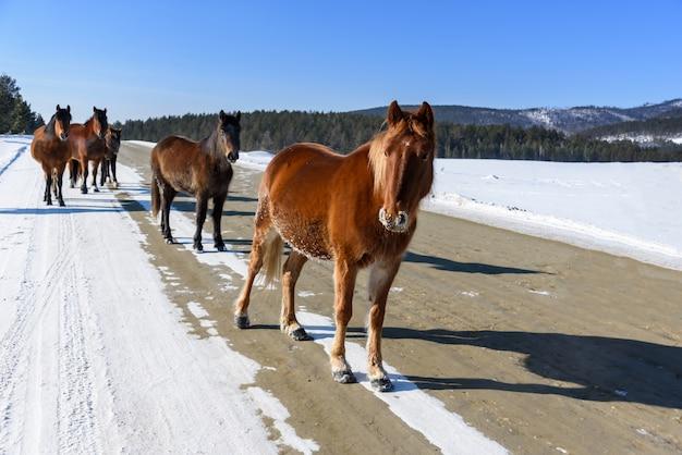 Cavalli marroni selvaggi che camminano sulla strada